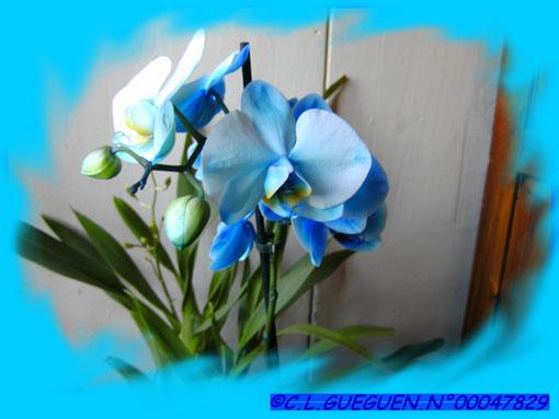 Phalaenopsis de couleur bleu...