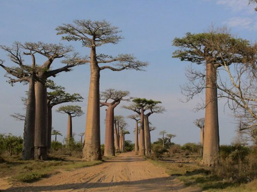 Magnifiques et Gigantesques Baobabs...