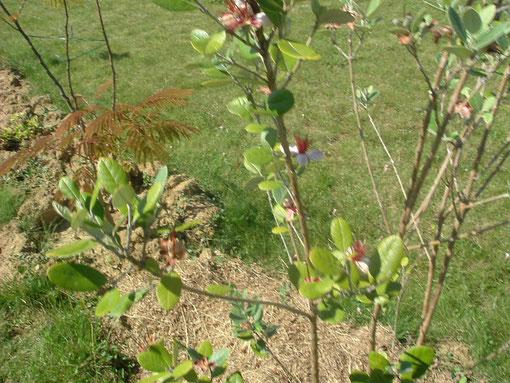 Goyavier du Brésil ou Feijoia avec ses petits fruits en formation...