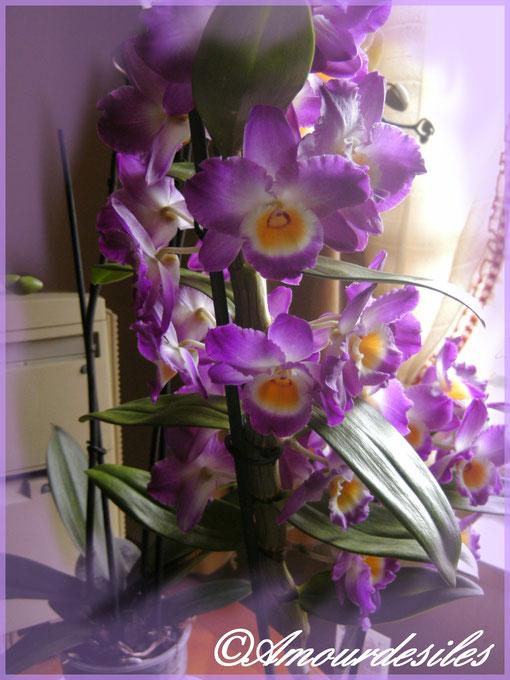 Dendrobium Nobilé. Un subtil parfum, hummmm
