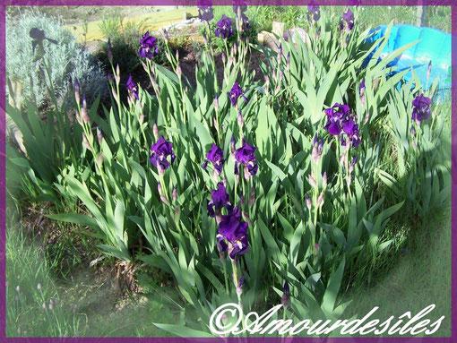 Mes Iris de couleur mauve