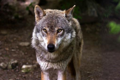 """bild"" Krafttier Wolf"