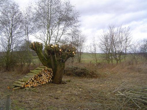Kopfweidenschnitt: Aus Ästen und Zweigen lässt sich allerlei nützliches für den Naturschutz anlegen: Aufgeschichtetes Totholz und Benjeshecke / Foto: D.Singer