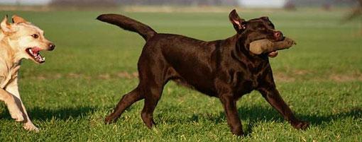 Erbkrankheiten Labrador
