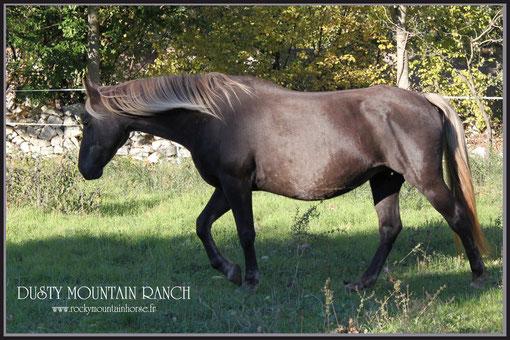 dusty mountain ranch rocky mountain horse montpellier france etalon chaval hongre jument poulain pouliche chevaux noir chocolat taffy à vendre vente vends prix tarif saillie naissance tolt gait amble