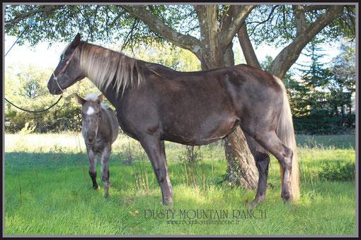 dusty mountain ranch rocky mountain horse montpellier france etalon chaval hongre jument poulain pouliche chevaux noir chocolat taffy à vendre vente vends prix tarif  reb's enchantress tolt gait amble