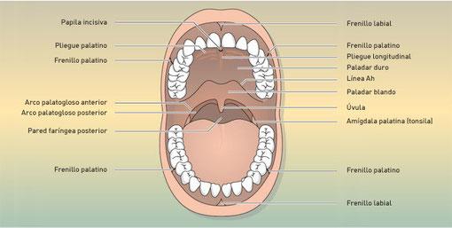 Cavità orale