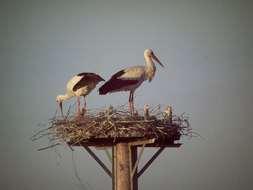 Seit 2011 brütet der Weißstorch wieder in den Markwiesen