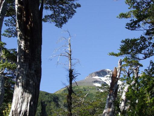 Vista del Torreón, a travéz del bosque de Alerces.fot. A.Núñez de Trekan.