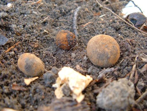 Hirschtrüffel ,Vogelbeck, Elaphomyces