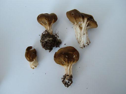 Hochgerippte Becherlorchel   Paxina acetabelum   eßbar l