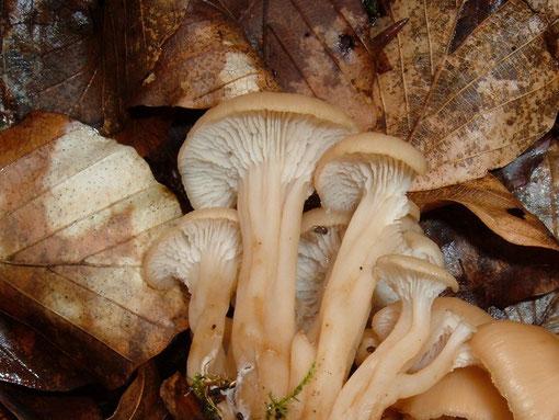 eine geruchslose kleinere Art der Gattung Lentinellus Zählinge     soll laut M.Bon nur in Südwestdeutschland vorkommen ! !