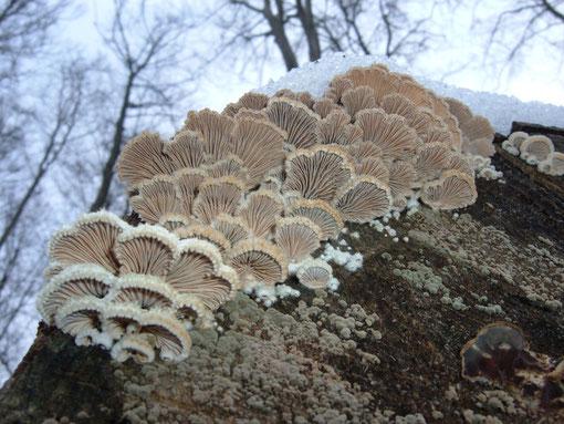 Spaltblättling ,  Schizophyllum commune   jetzt überall an den Holzlagerplätzen zu finden ! Ein sehr schöner Pilz  Jan.09