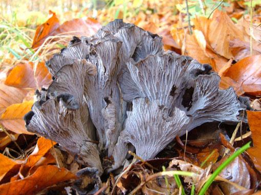 Grauer Leistling   Pseudocraterellus cinereus