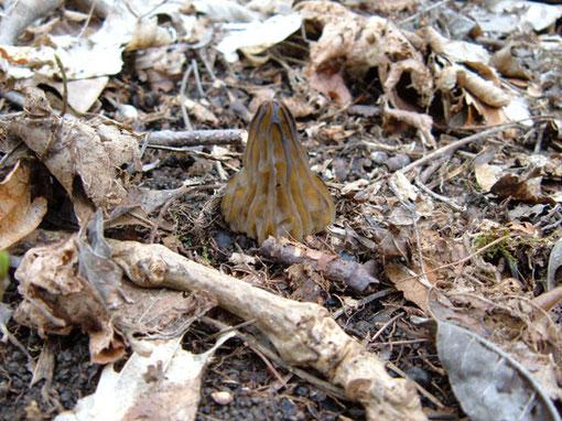 Käppchenmorchel   Mitrophora semilibera   eßbar