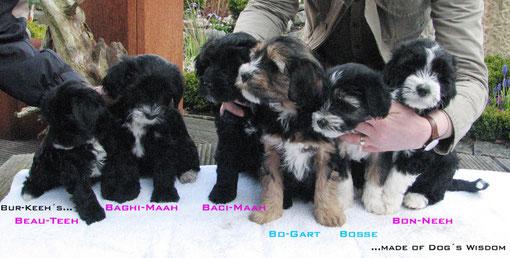Welpe, Welpen, Tibet Terrier
