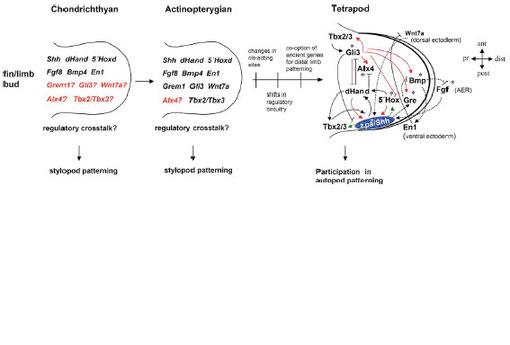 図15.自脚の要素形成を誘導するcis制御ネットのモデル
