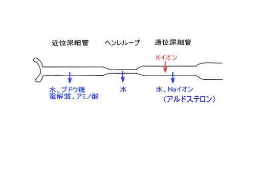 図3.腎尿細管の構造と機能