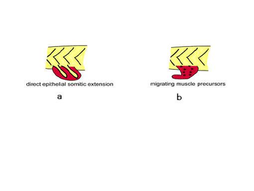 図17.胸鰭の筋形成過程