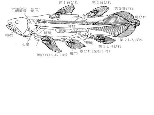 図5 シーラカンスの体の構造