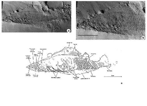 図1 無顎類ハイコウイクティス:Haikouichthys ercaicunensis の化石