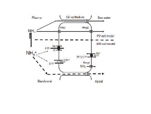 図5.海水魚の鰓細胞におけるアンモニア排出モデル