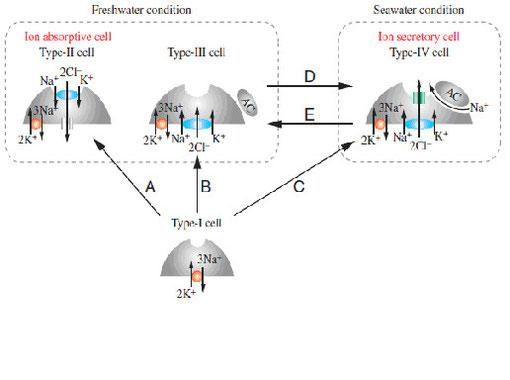 図1.4種類の塩類細胞(mitochondrion-rich cells)の機能と変換モデル