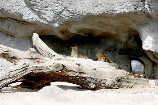 Löwen im Zoo von Jenny Tiedemann