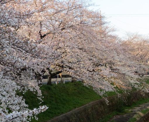 朝日に映える天竺川の桜
