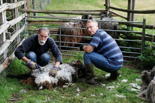Schafschur der Heidschnucken der Schäfereigenossenschaft Wiedehopf. Schafe sind lebende Rasenmäher und beweiden die Obstwiesen in den Dammer Bergen.Frank Prissok und Norbert Völker betätigen sich als Schafscherer.
