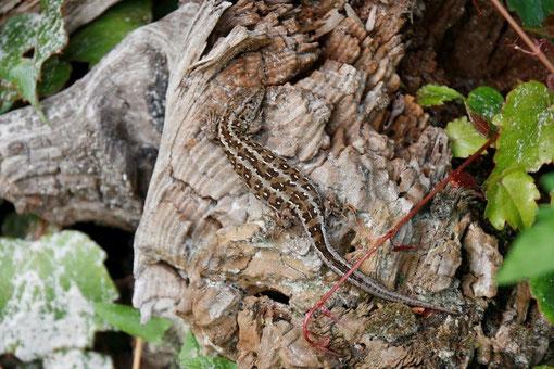 Zauneidechse auf Wurzelstubben . Eidechsen und Hirschkäfer sind die Wappentiere des Naturschutzzentums Dammer Berge. Beide Arten sind auf dem etwa 6 Hektar großen Gelände häufig anzutreffen.