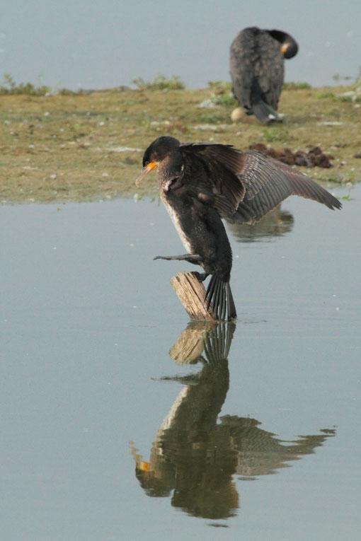 Grand cormoran grimpant sur un piquet de bois