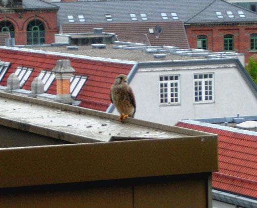 Das Turmfalkenmännchen sondiert die Lage. Foto: R. Lubrig