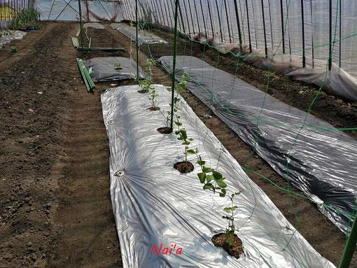 農園 菜園 さやえんどう スナップエンドウ 育て方 ハウス栽培 畑