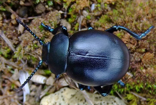 """crache-sang""  (Timarcha tenebricosa - famille des Chrysomelidae) crédit photo©UYTTENBROECK Luc"