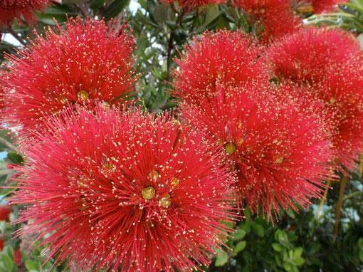 la fleur du Pohutukawa
