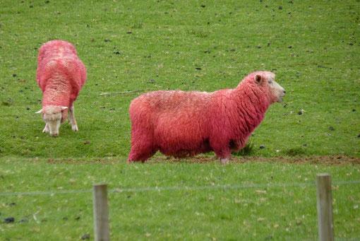 un producteur de laine a teint ses moutons pour se faire de la pub (photo de Babeth)