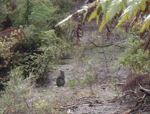 wallaby sur le chemin
