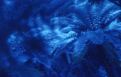 Tree ferns; Amami-Oshima, Japan.