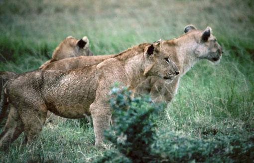 Three young lions; Rwindi, DRC.