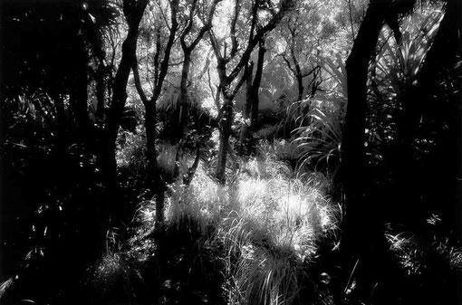 Forest, Hahajima, Japan.