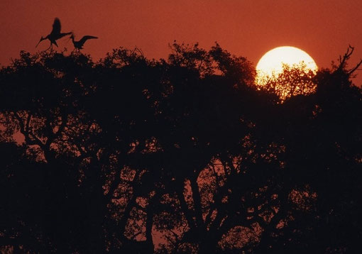Dawn silhouettes a wild cork oak and a pair of nesting spoonbills; Coto de Doñana, Spain.