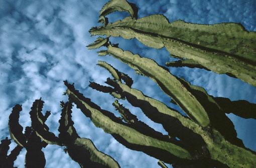 Giant Euphorbia; Ishango, DRC.