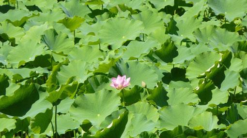 平良の蓮の花
