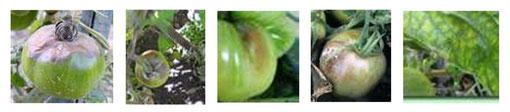 Tâches noires sur tomates, caractéristiques du mildiou