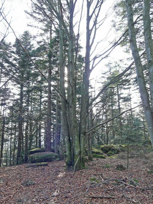 Très grande vitalité des arbres situés alentours et qui sont multitroncs
