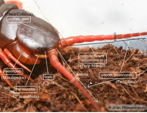 Scolopendra subspinipes de Haani