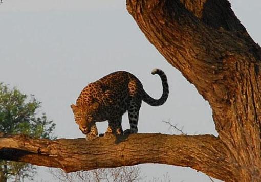 クルーガー国立公園/南アフリカ共和国