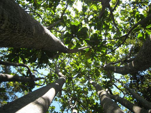 FOTO 7: Forest fever tree (Anthocleista grandiflora). Bellissima pianta di aree di foresta, comune a Ingwe. Non é imparentata con il fever tree, ma il nome, molto simile, ne tradisce la predilezione per zone umide e ricche d'acqua.