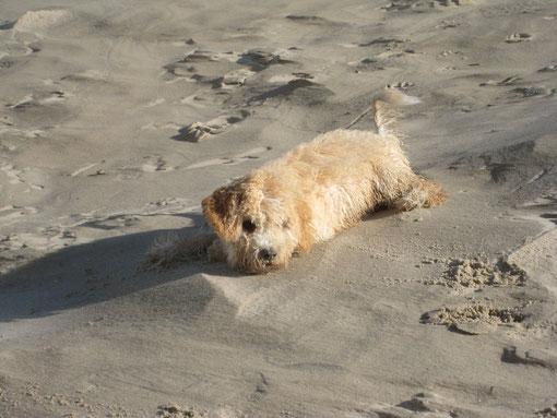 Vielleicht doch Sandhund??? Vielen Dank an euch VIER....... für die schönen Bilder und Geschichten über Allegra´s Entwicklung!!!!!  :-)